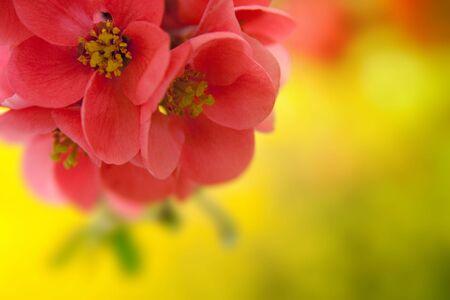 japenese: Japenese flowering crabapple