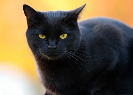 portrait of a black cat on a blurry background photo
