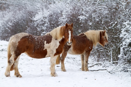 Two Horse on snow photo