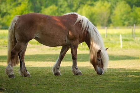 blond Horse Standard-Bild