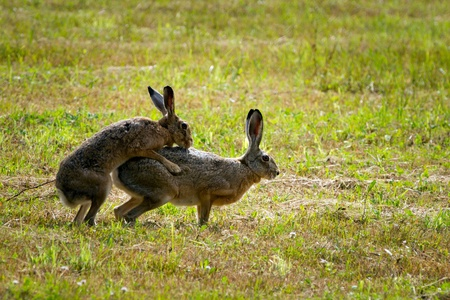 European Hares in Love photo