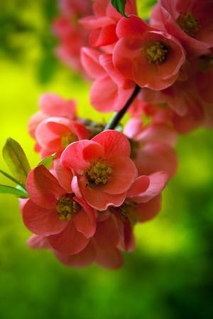 flowering field: Japenese flowering crabapple flowers