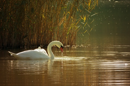 Swan on a lake Stock Photo - 11111371