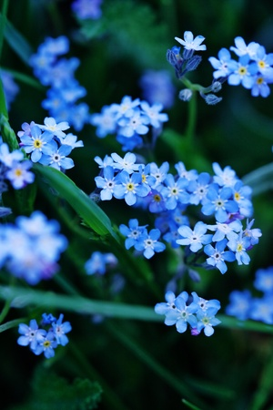 forget me not flowers photo