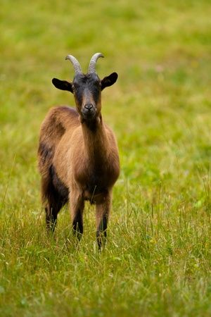 billy: Goat on a green meadow Stock Photo