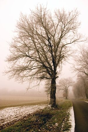 grunge tree: Tree at a foggy day