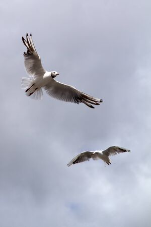 seagull, soaring in the blue sky photo