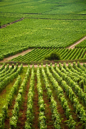Vineyards in Gevrey chambertin burgundy France photo