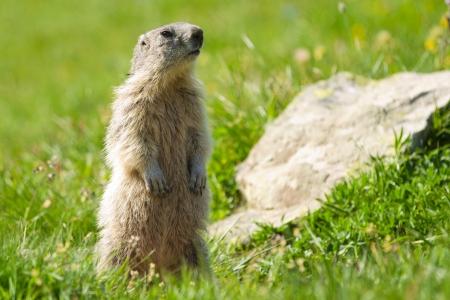 A cute marmot in the alps