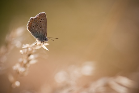 Polyommatus icarus in the morning light Stock Photo - 18721811