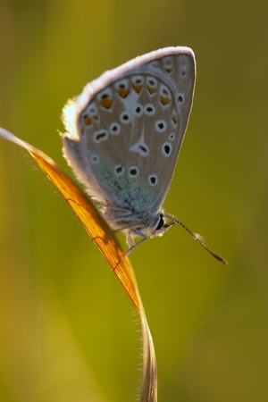 Polyommatus icarus in the morning light photo