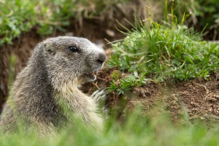 verdant: A cute marmot in the alps