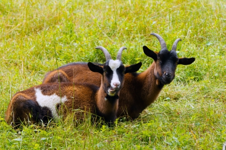 She-goats on a green meadow Stock Photo - 18722198