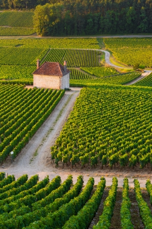 wineyard: Vineyards in Gevrey chambertin burgundy France