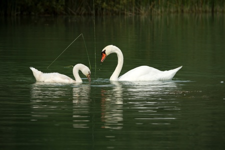 White swans on a lake in summer Stock Photo - 18721997