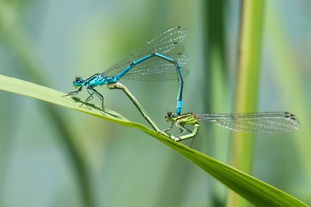 mating colors: dragonfly in love Stock Photo