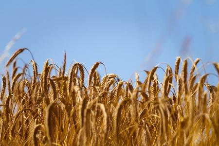 Wheat field in summer Stock Photo - 18722236
