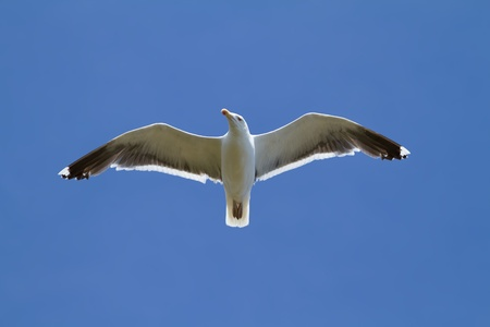 wingspread: seagull, soaring in the blue sky