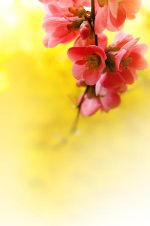 Japenese flowering crabapple flowers Stock Photo - 18722150