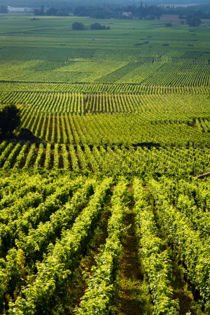 Vineyards in Gevrey chambertin burgundy France Stock Photo - 18722171