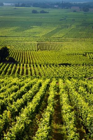 oenology: Vineyards in Gevrey chambertin burgundy France
