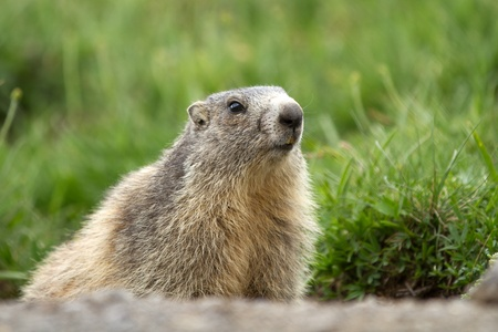 beautiful marmot in the alps