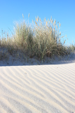 Sandy waves and wild leymus plant at sand beach photo