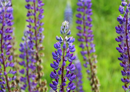 lupines: Blue Lupines with green background Stock Photo