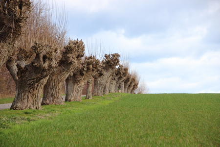 borderline: Green Crop Field with Borderline of Old Willow Trees
