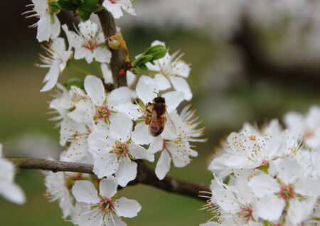 bee on white flower: Isolated Honey Bee on Tree with White Spring Flower