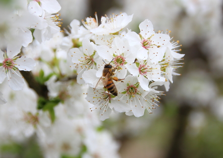 bee on white flower: Isolated Honey Bee on White Flower Tree Covered with Nectar Stock Photo