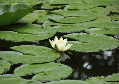 centered: White Waterlily Single Centered in Lake with Leaves