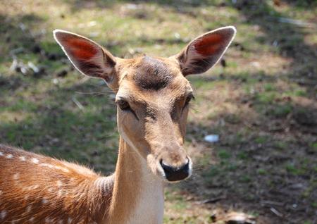 fallow deer: Female Fallow Deer Head with lifted Ear on a Farm