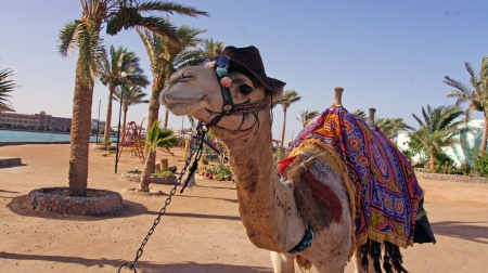 camel Standard-Bild