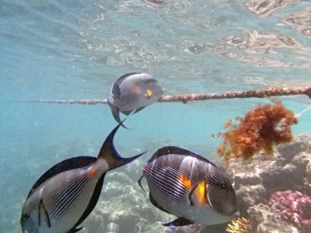 sohal: snorkeling in the red sea