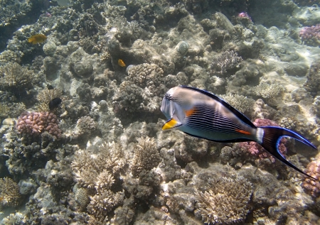 sohal: snorkeling in red sea Stock Photo