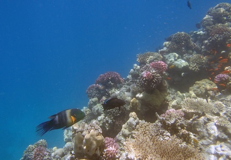 cheilinus: snorkeling in red sea Stock Photo