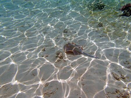 stingrays: snorkeling in red sea Stock Photo