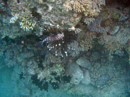 firefish: snorkeling in the red sea