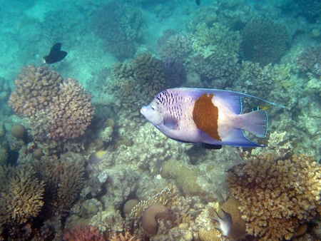 stingrays: snorkeling in the red sea