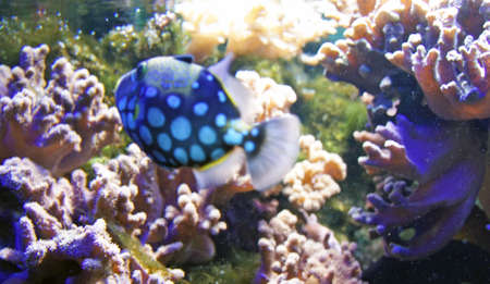 clown triggerfish: underwater life with many colorful fish and corals