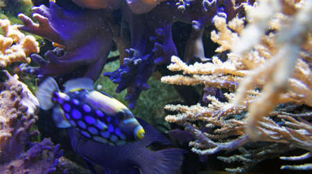 triggerfish: underwater life with many colorful fish and corals