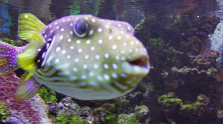 blowfish: underwater life with many colorful fish and corals