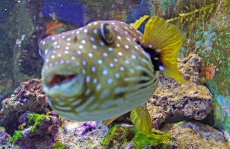 pez globo: la vida bajo el agua con muchos peces y corales de colores Foto de archivo