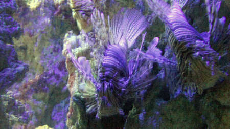 firefish: underwater life with many colorful fish and corals