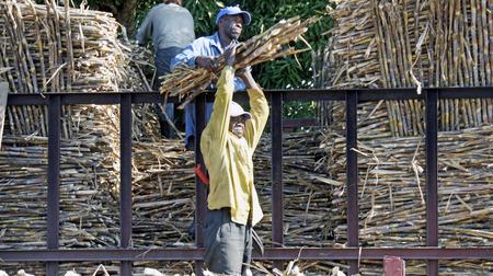 haitian: haitian farmer working on sugar cane field