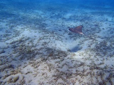 red sea: eagleray in the red sea