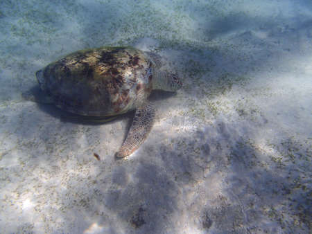 red sea: turtle in the red sea