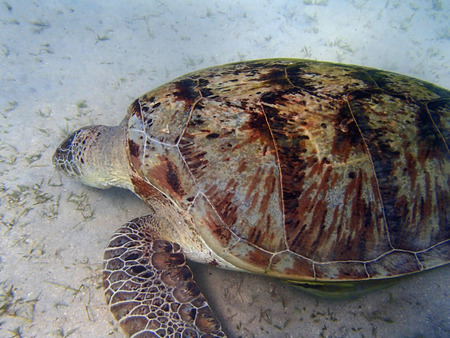 turtle in the red sea photo