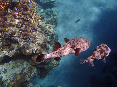 snorkeling in the colorful red sea photo